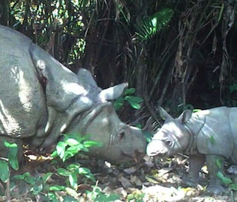 Three Javan rhino calves have been spotted recently at Ujung Kulon National Park in Indonesia.