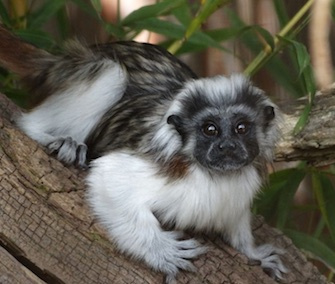 Cotswold Wildlife Park cotton-top tamarins