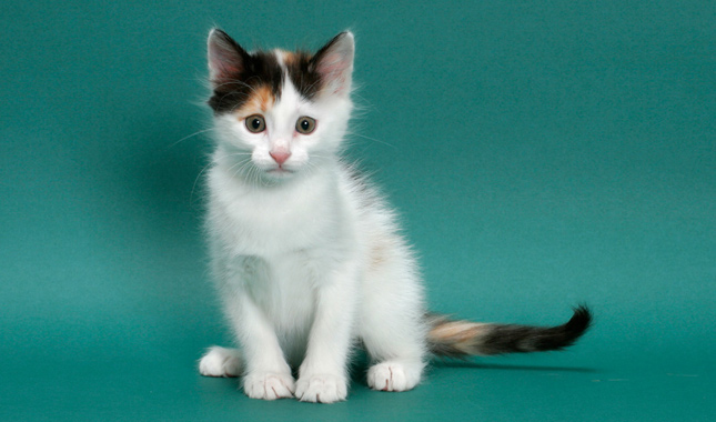 e51e35dbe3 Turkish Van Cat Breed Information