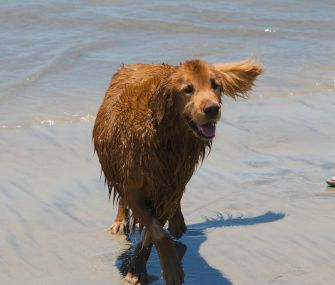 golden retriever at beach for doggie bucket list