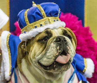 Lucey, an 18-month-old pup from Iowa, won the top honor at Drake University's annual Beautiful Bulldog contest on Monday.