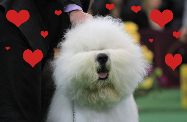 Swagger the Old English Sheepdog is our Valentine
