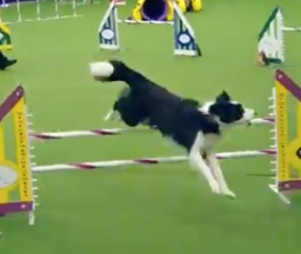 Trick, a Border Collie, won the Westminster Masters Agility Championship.