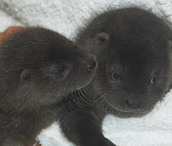 A pair of orphaned otter pups has become best friends at the Scottish SPCA.