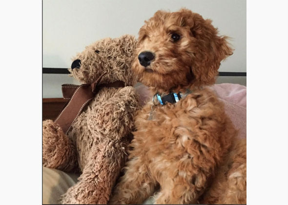 The Cutest Doodle Dogs On Instagram