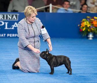 Rubi the French Bulldog wins reserve Best in Show at National Dog Show