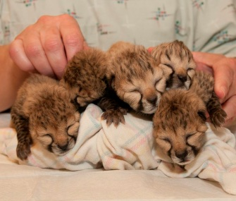 Five premature cheetah cubs were born via C-section at the Cincinnati Zoo.