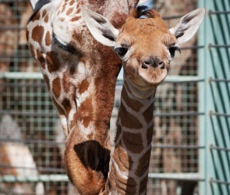 The giraffe calf gets some love from her mom, Kristin.