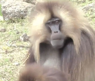 Gelada monkeys' lip-smacking may have been a key to the evolution of human speech.
