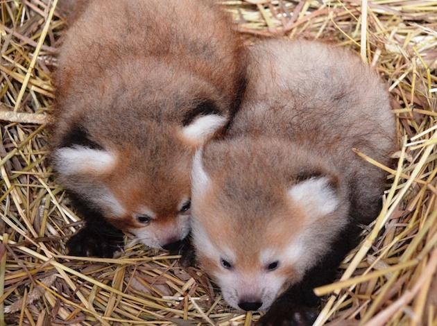 Red Panda Cubs at Detroit Zoo