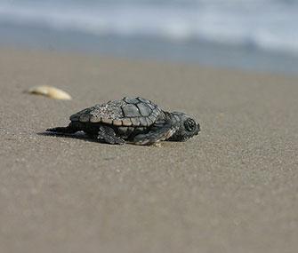 A loggerhead sea turtle walks on a Florida beach
