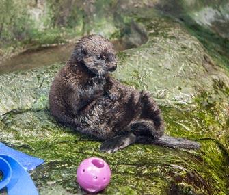 Otter pup named Luna