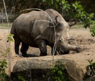 Nabiré northern white rhino Dvůr Králové Zoo Czech Republic