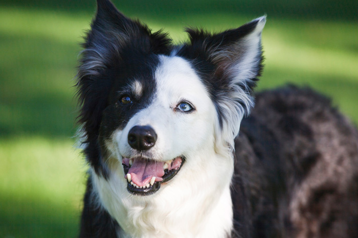 Border collie dog breed information wajeb Choice Image