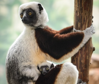 Kapika, a rare Coquerel's sifaka lemur, was born at the St. Louis Zoo on Jan. 21.