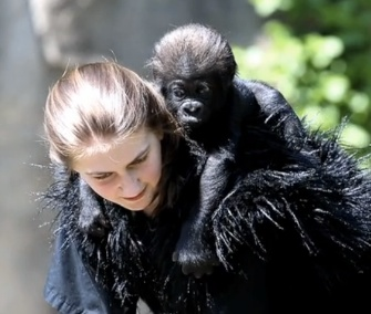 Gladys the baby gorilla gets a ride from one of her surrogate moms.