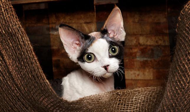 Devon Rex Cat Breed Information