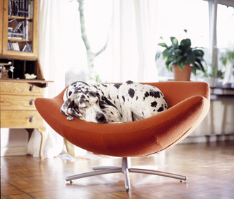 Great Dane sleeping in a chair