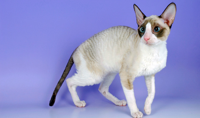 Cornish Rex Cat Breed Information