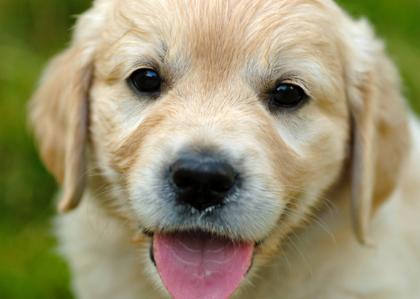 boy golden retriever names the most popular male and female puppy names of 2015 5641