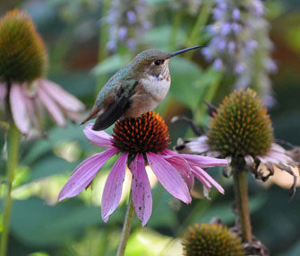 Hummingbird on purple flower