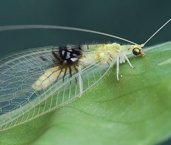 This new lacewing species was first spotted by an entomologist on Flickr.