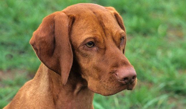 Vizsla Service Dog