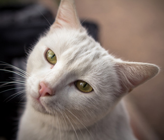 Senior white cat