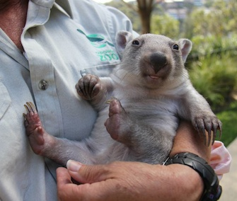 Chloe, an orphaned wombat joey, has a human surrogate mom at the Taronga Zoo in Australia.