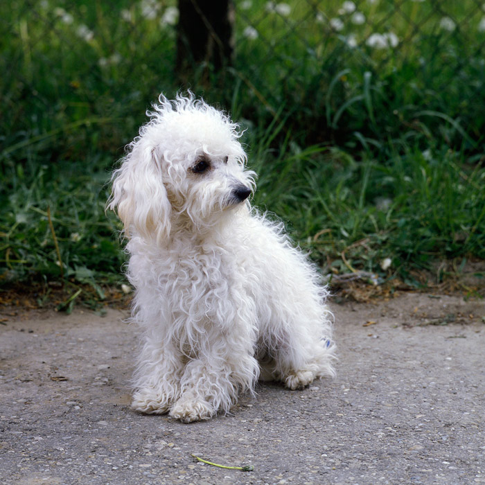 Bolognese Breed Information