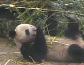 Panda cam