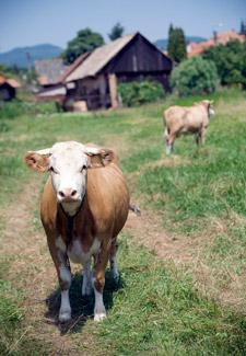 Heifer International Cows