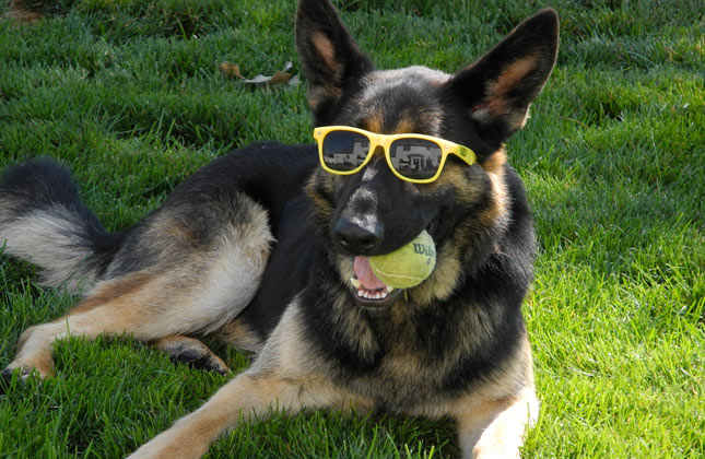 German Shepherd in Sunglasses