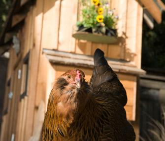 Backyard chicken and coop