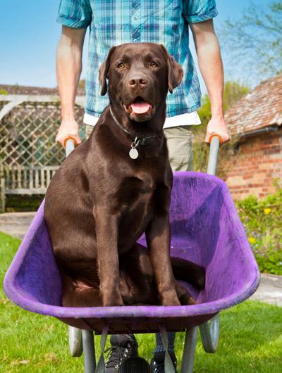 Dog in wheelbarrow