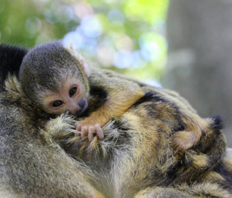 Baby spider monkey at Taronga Zoo