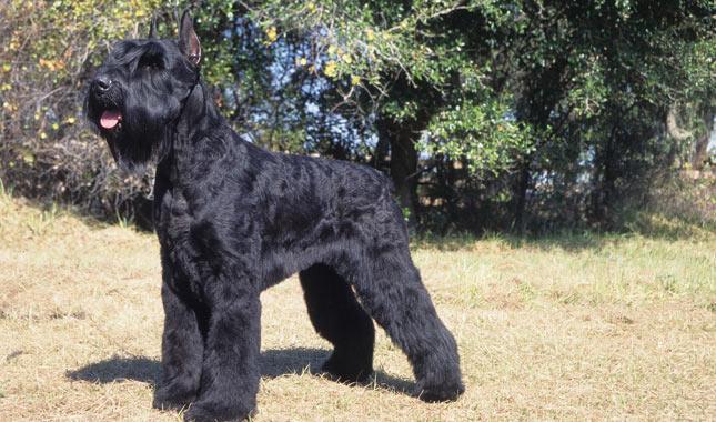 Giant Schnauzer Dog Breed Information