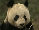 Pandas in Scotland