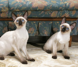 Two Siamese cats sitting by a sofa