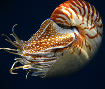 nautilus in the water