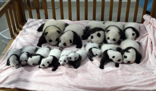 Fourteen of the panda cubs who were born at the Chengdu Research Base in China met the public on Monday.