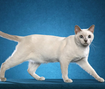 Tonkinese cat walking