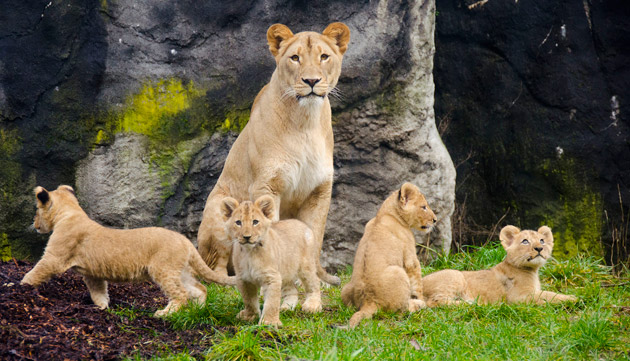 lion cubs with mom