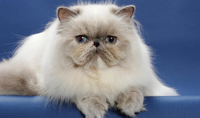 Persian cat information facts