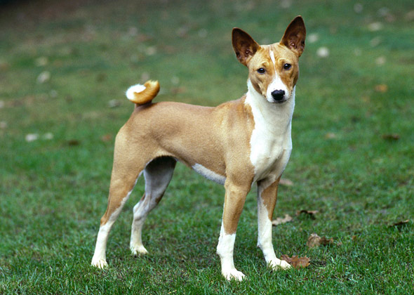 Short Eared Dog Breeds