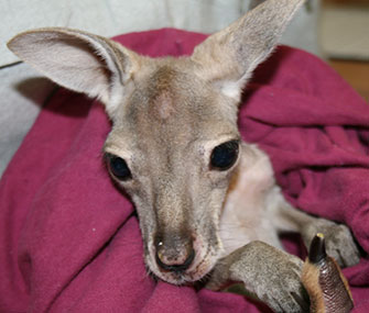 An orphaned red kangaroo joey has a new surrogate mom at an Australian Zoo.