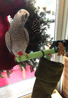 Holiday parrot