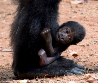 A female baby Western lowland gorilla was born at Zoo Atlanta on Sunday.