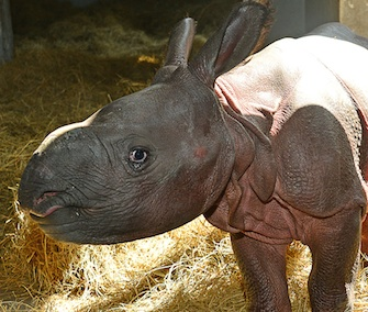 Jiyu, an Indian rhinoceros calf, was born on May 9.