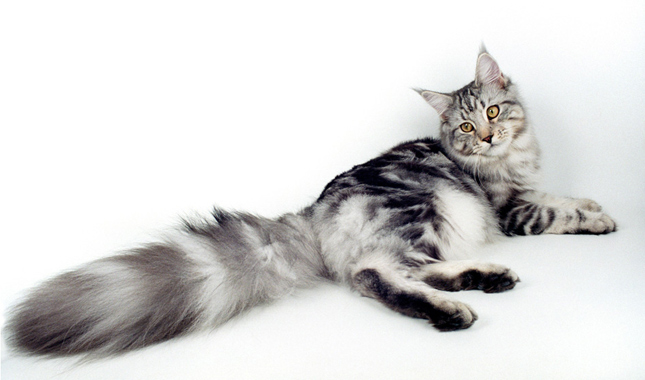 Information on maine coon kittens